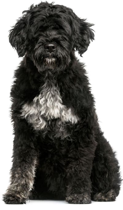 dr-dina-portuguese-water-dog